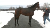 Laoban - Sequel Stallions New York