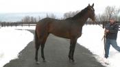 Laoban - Sequel Stallions New York