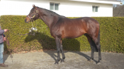 A Shin Forward - Rockridge Stud